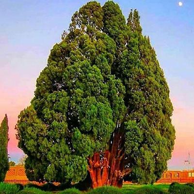 سرو 4500 ساله ابرکوه، کهنسال ترین درخت ایران
